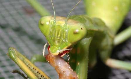 Praying Mantis Info And Games