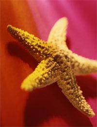 starfish plant