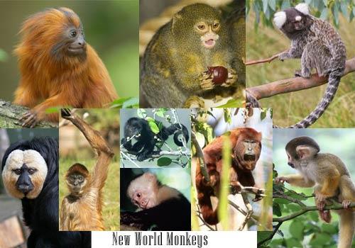 apes vs monkeys