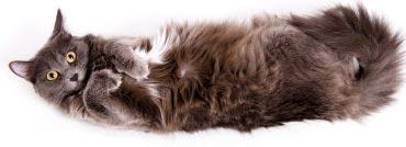 گربه ها مالیدن شکم شان را دوست ندارند