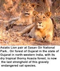 info sur le lion