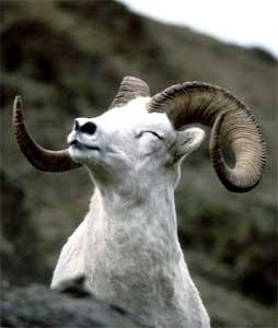Welp.  Sheep_c_ram