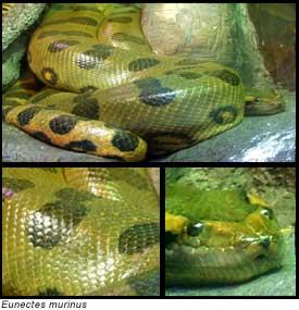Anacondas - info and games