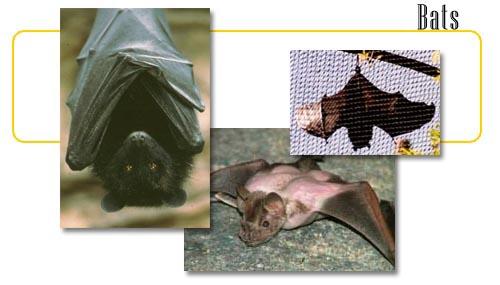 Bats - info and online games