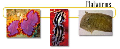 invertebrata platyhelminthes hatalmas növekedés, parazitával a nyakon