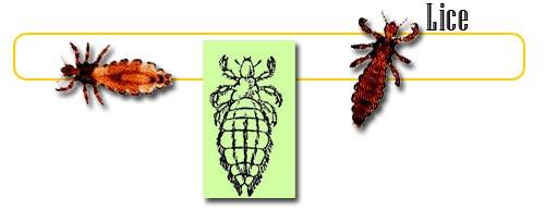 singular lice
