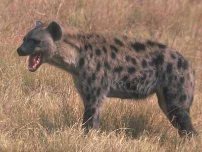 Темно-коричневая гиена в черных пятнах Африканские животные Дикие Животные МИР ФОТО.