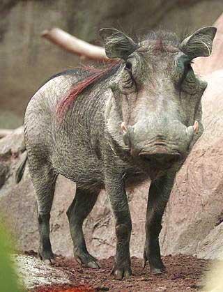 Cape Warthog