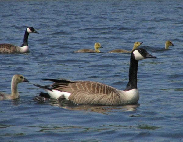 Canada Goose Canada