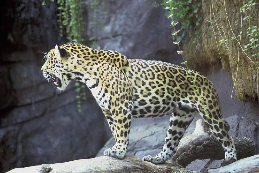 unique facts about south central america jaguar. Black Bedroom Furniture Sets. Home Design Ideas